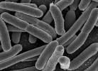 bacterii intestinale