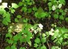 frunze de ginkgo biloba