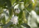 frunze si flori de stevie