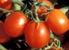 surse de tomatina