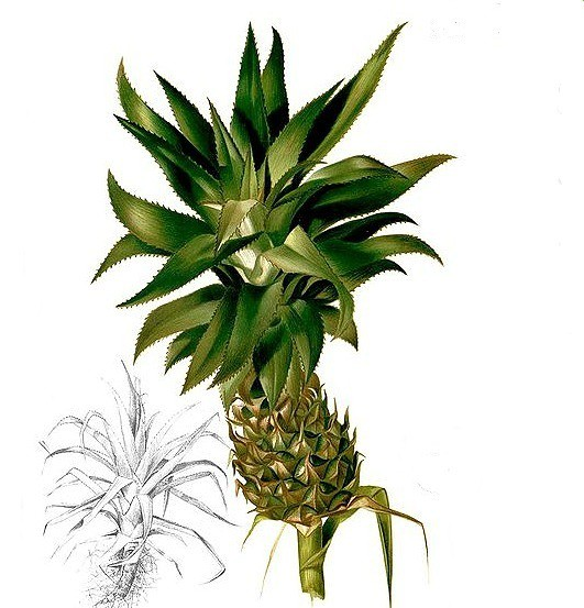 Ananas - sursa de bromelaina - bromelina