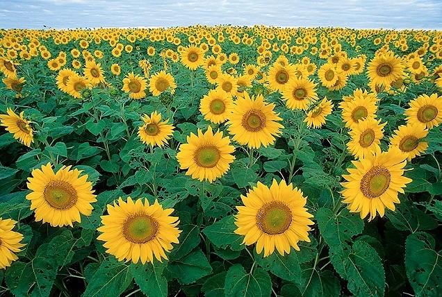 floarea soarelui sursa de omega 6