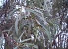 frunze de eucalipt