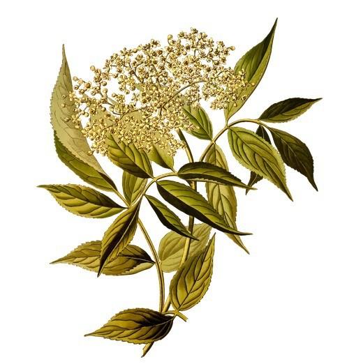 flori si frunze de soc