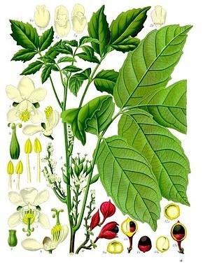 guarana - plantă, fructe, semințe