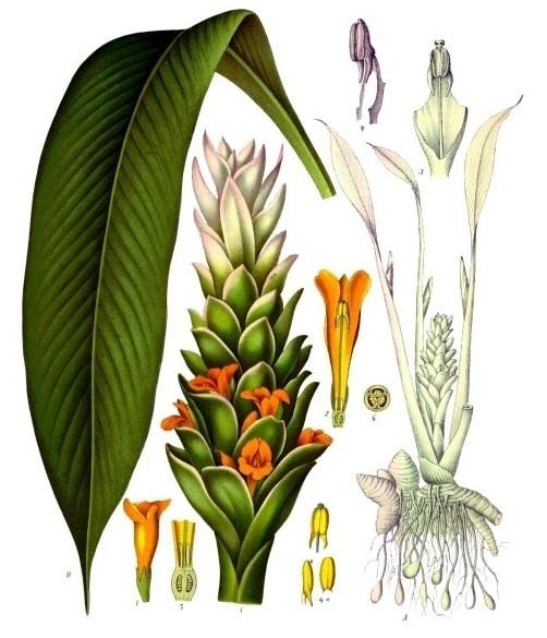 turmeric sau sofran indian