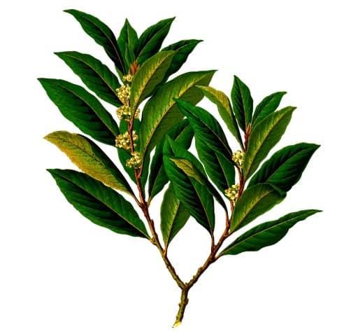 Unguent din frunze de dafin pentru dureri articulare | Move&Flex