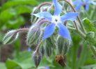 floare de borago